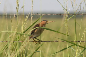 BIRD ON A WIRE - A Little Bittern enjoying its man-made perch & prime conditions at Nylsvley