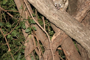 Playing peek-a-boo with a genet ...