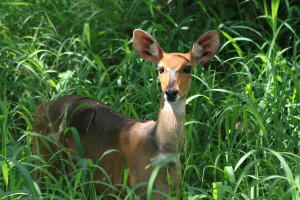 A friendly female Bushbuck