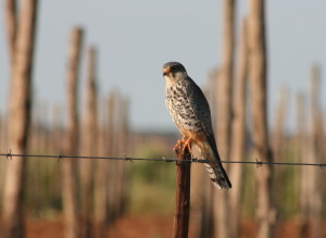 STAKE-OUT ... An Amur Falcon on the lookout for prey next to a citrus farm.