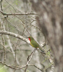 One of the Gorgeous Bush Shrike briefly sitting out in the open