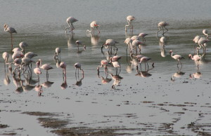 Flamingos on Nyamithi Pan