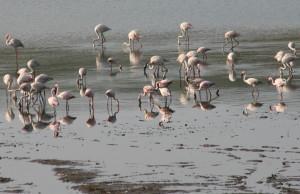 Flamingos on Nyamithi Pan