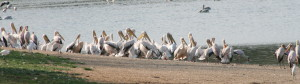 Pelicans & Yellowbilled Storks on Nyamithi Pan