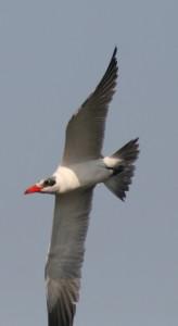 Caspian Tern underside