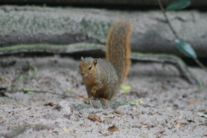 Red Bush Squirrel
