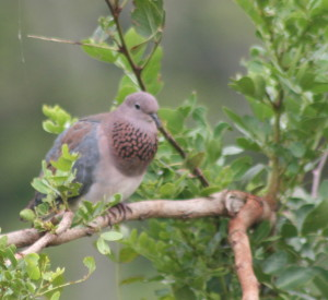 Laughing Dove with inflated neck in territorial display