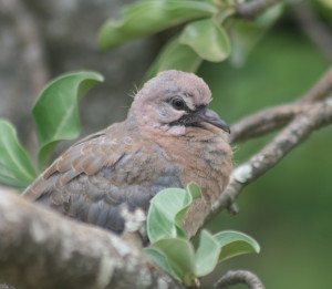 Juvenile Laughing Dove