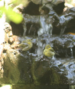 Cape White-Eyes having a bath